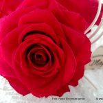 Rdeča vrtnica kot simbol ljubezni še vedno prva izbira