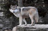 Volk v Slovenskih goricah