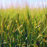 Kmetje bi za pšenico toliko kot lani, za kupce bi bila potrditev prehitra