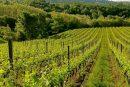 Vinarstvo in vinogradništvo sta v Sloveniji pomembni gospodarski panogi